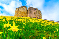 Daffodils. Cliffords Tower. York. 1
